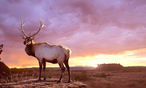 Framed Elk Sunrise In Canyonland Print