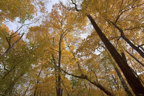 Framed Yellow Fall Trees From Below I Print