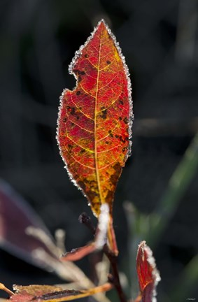 Framed Red Fall Leaf Closeup Print