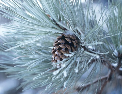 Framed Frosted Pine Cone And Pine Needles III Print
