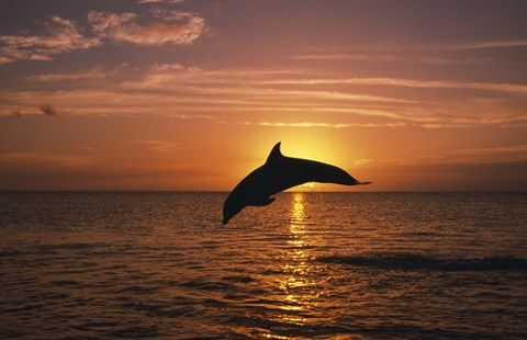Framed Dolphin Sunset Dive II Print