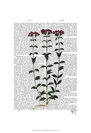 Framed Italian Carnation 6 Print