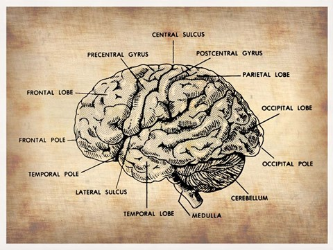 Framed Vintage Brain Map Anatomy Print