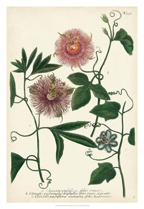 Framed Antique Passion Flower I Print