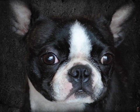 Framed Boston Terrier Portrait Print
