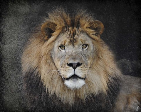 Framed Male Lion Portrait 1 Print
