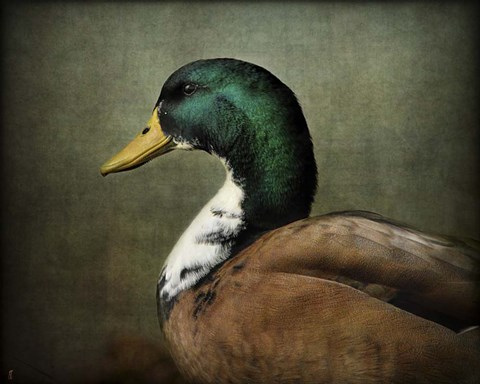Framed Mallard Duck Portrait Print