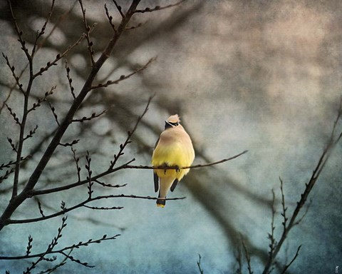 Framed Waxwing At Winter Sunset Print