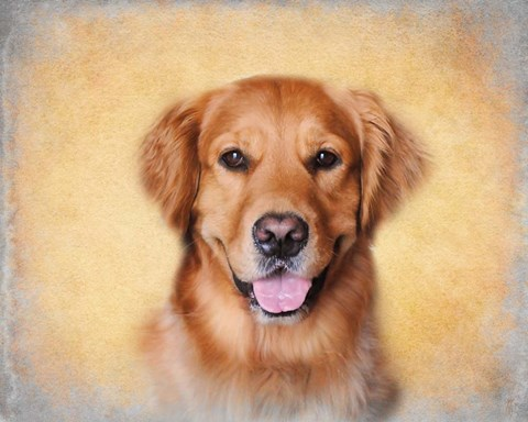 Framed Young Golden Retriever Portrait Print