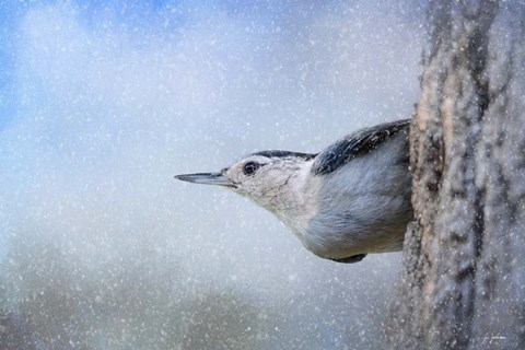 Framed Nuthatch In The Snow Print