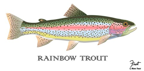 Framed Rainbow Trout Print