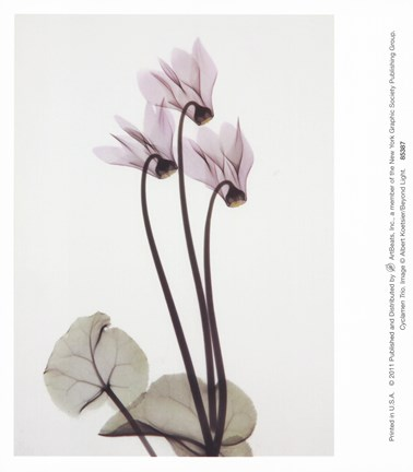 Framed Cyclamen Trio Print