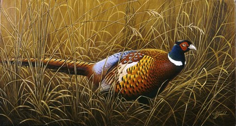 Framed Sneaking Through The Long Grass - Ring Neck Pheasant Print