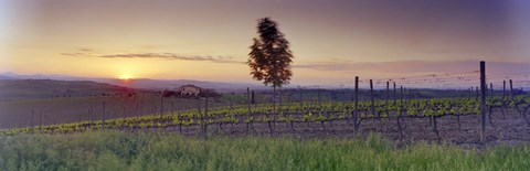 Framed Tree in a vineyard, Val D'Orcia, Siena Province, Tuscany, Italy Print