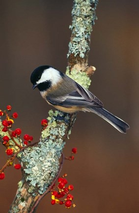 Black Capped Chickadee Bird Fine Art Print By Panoramic