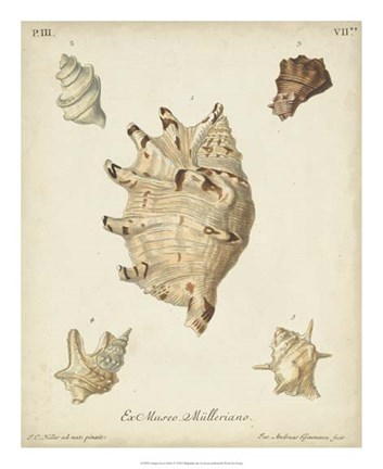 Framed Antique Knorr Shells IV Print