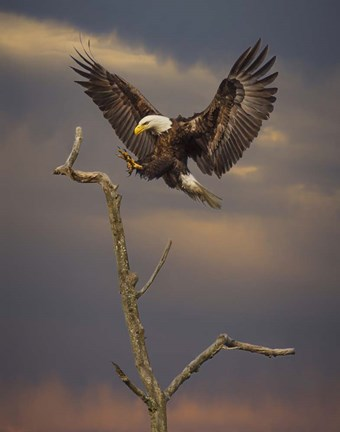 Eagle Landing On Branch Fine Art Print By Galloimages
