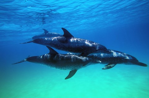 Framed Bottle Nosed Dolphins Under Water Print