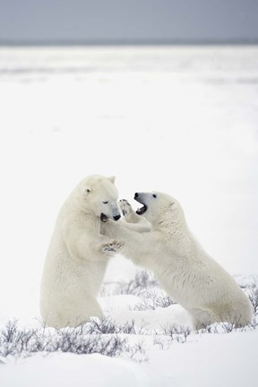Framed Polar Bears Fighting Print