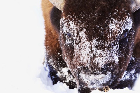 Framed Bison's Snow Covered Face Print