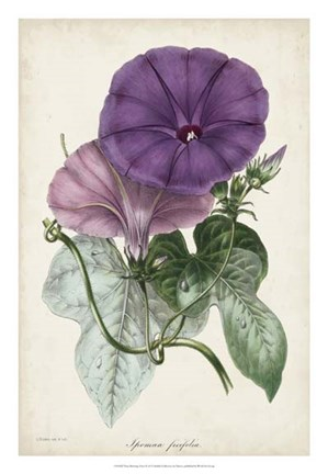 Framed Plum Morning Glory Print