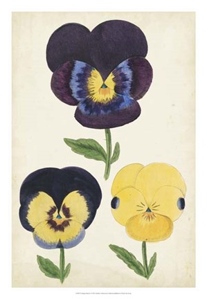 Framed Antique Pansies I Print