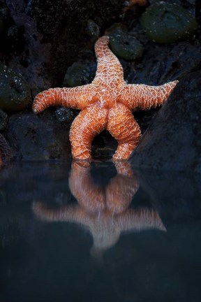 Framed Starfish Reflection 2 Print