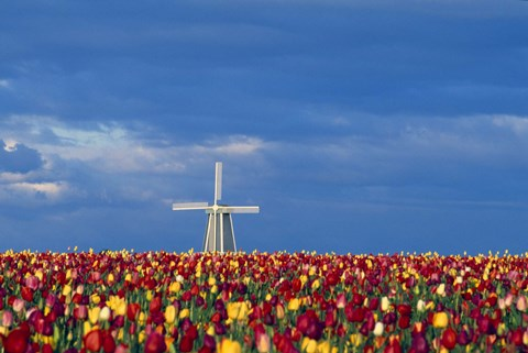 Framed Windmill with Tulips Print