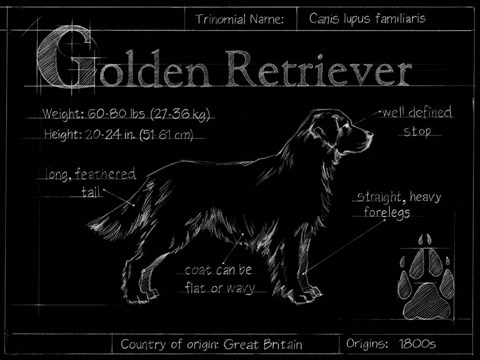 Blueprint golden retriever fine art print by ethan harper at framed blueprint golden retriever print malvernweather Image collections