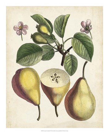 Framed Antique Pear Study II Print