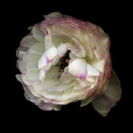 Framed Singled Out - Ranunculus Print