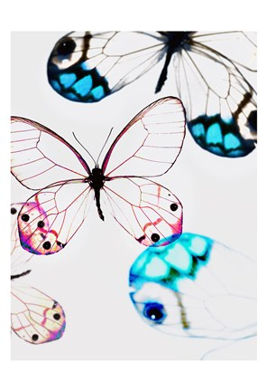 Framed Glasswings Print