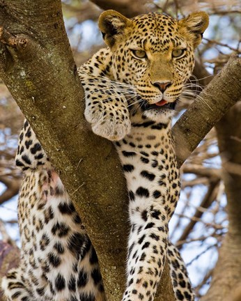Framed Africa. Tanzania. Leopard in tree at Serengeti NP Print
