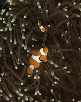 Framed Pair of Anemonefish, Manado, Indonesia Print