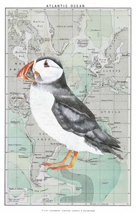 Framed Atlantic Puffin Print