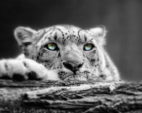 Pop Of Color Snow Leopard Eyes Fine Art Print By Color Me