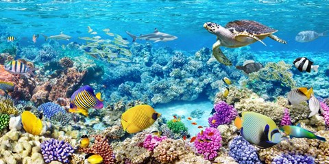 Sea Turtle And Fish Maldivian Coral Reef Fine Art Print