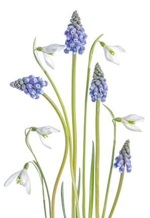 Framed Muscari And Galanthus Print