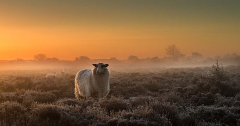 Framed Sheep In The Mist Print