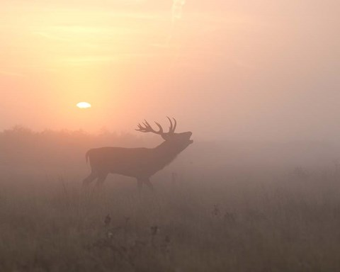 Framed Misty Morning Stag Print