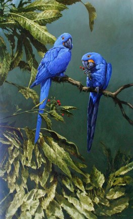 Framed Pair of Blue Parrots Print