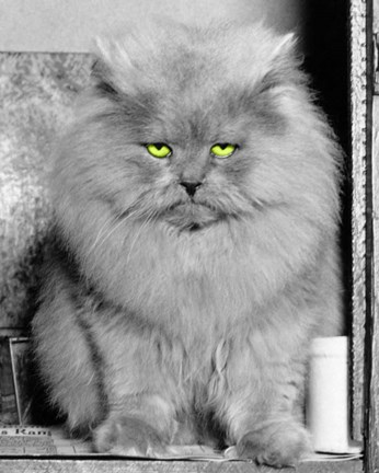 Framed 1940s Long Hair Blue Persian Cat With Facial Expression Print