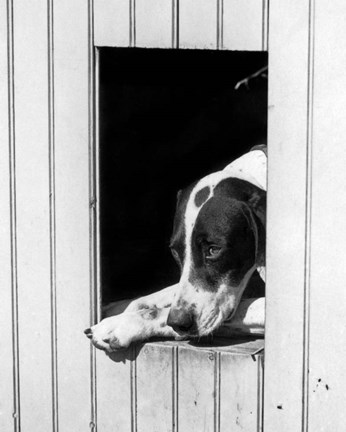 Framed 1930s Hunting Dog Pointer Looking Out Of His Doghouse Print