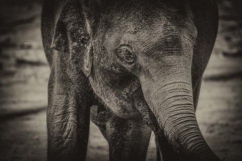 Framed Young Elephant sepia Print