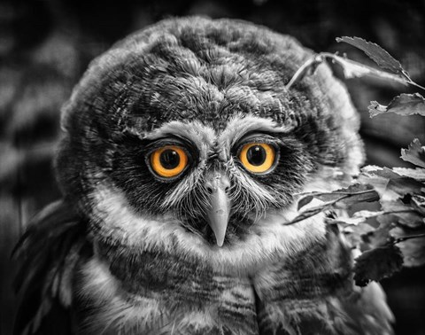Young Owl Black White Fine Art Print By Duncan At Fulcrumgallerycom