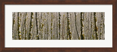Framed Trees in the forest, Red Alder Tree, Olympic National Park, Washington State, USA Print